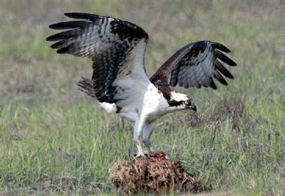 Águila pescadora