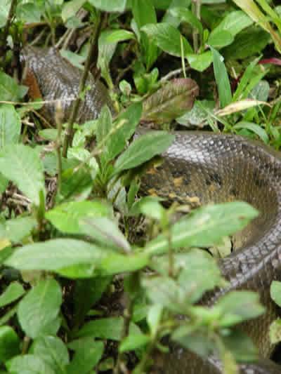 Anaconda verde ( Eunectes murinos)