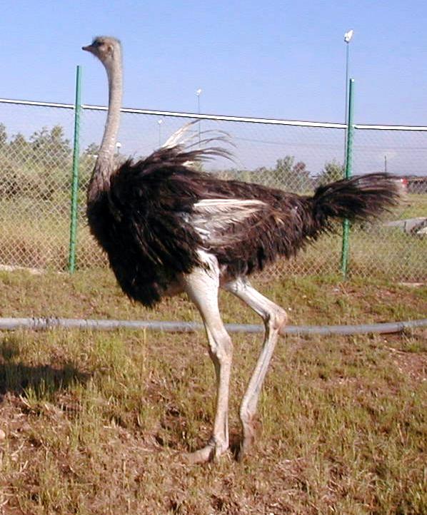 El avestruz (Struthio camelus) es una especie de ave estrutioniforme de la familia Struthionidae.