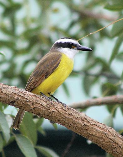 El Benteveo (pitangus sulphuratus), una hermosa ave autóctona  dueña de un llamativo pecho amarillo y una intrigante ceja horizontal que surca su rostro.