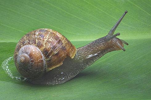 Caracoles de tierra - Molusco gasteropodo eutineuro pulmonado estilomatóforo helicido.
