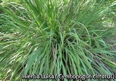 Flora plantas ornamentales y medicinales tosagua for Salsa de hierba luisa