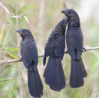 El Garrapatero es de plumaje negro, el pico no se ve de frente. Los garrapateros sí empollan a sus propios polluelos.