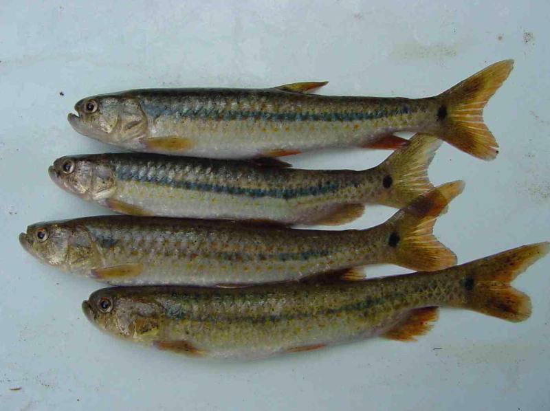Guabina - Es un pez de agua dulce que habita en los ecosistemas acuáticos de nuestro bello país