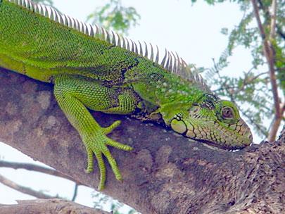 La iguana (Iguana iguana)