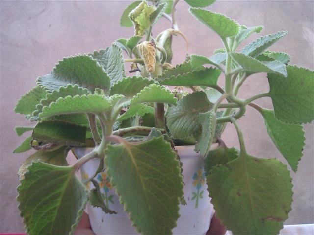 Flora plantas ornamentales y medicinales tosagua for Tipos de arbustos ornamentales