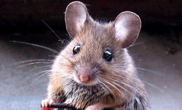 Ratón de casa