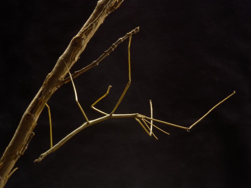 Vicho palo -  tienen forma de rama, lo que les hace pasar desapercibidos para muchos depredadores.